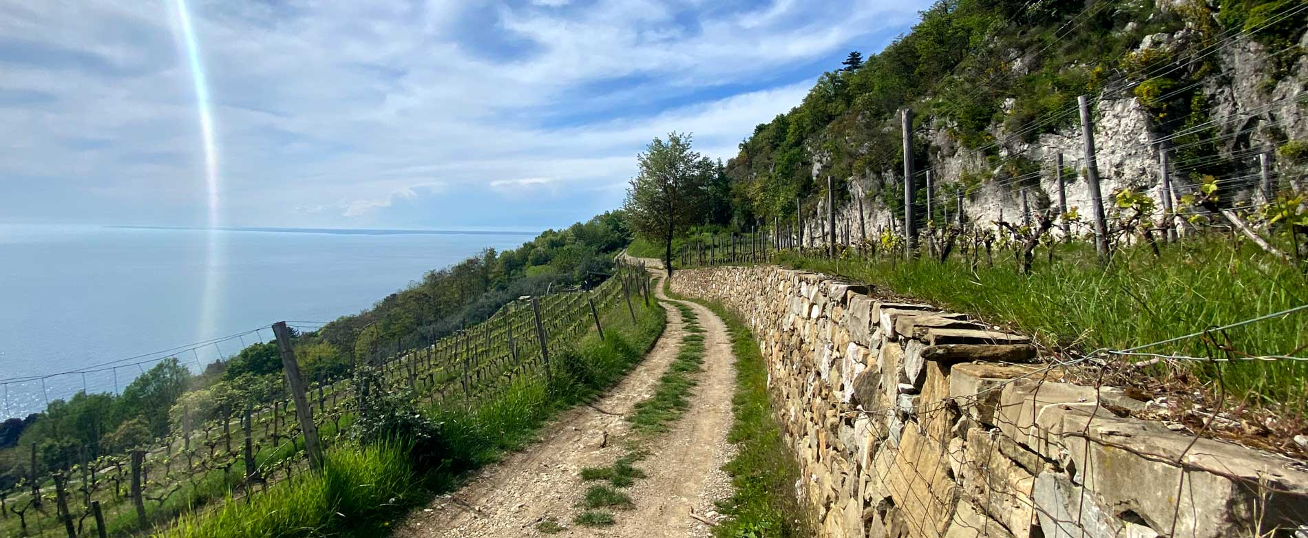 Vigne di Vitovska affacciate sul Castello di Miramare.